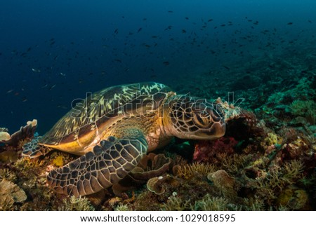 Green turtle at Gili Islands,