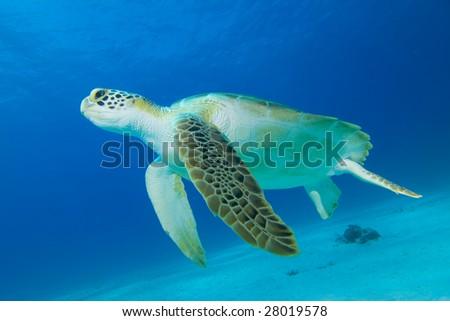 Green Turtle (Chelonia mydas) - stock photo