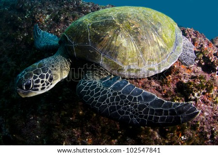 green turtle Chelonia mydas.  Clear water reef at southeast Brazil. - stock photo