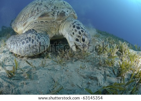 Green Turtle (chelonia mydas), endangered species, Adult female feeding on seagrass. Red Sea, Egypt.