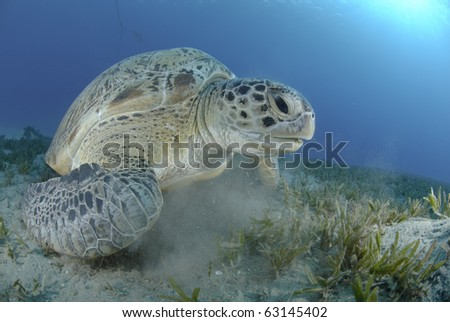 Green Turtle (chelonia mydas), endangered species, Adult female resting on a bed of seagrass. Red Sea, Egypt.