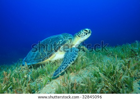 Green Turtle (Chelonia mydas) feeding on seagrass