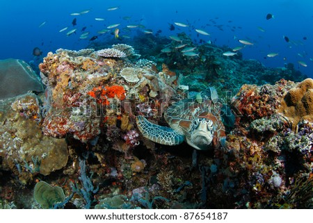 green turtle (Chelonia mydas) in coral reef with remora (suckerfish) on the back