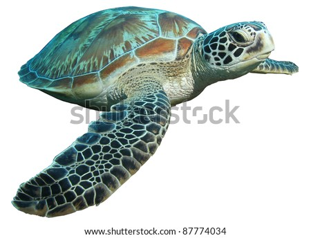 green turtle (Chelonia mydas) isolated on a white background - stock photo