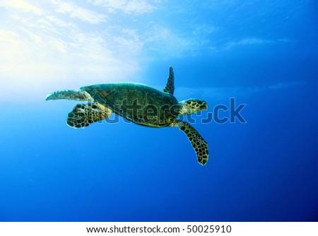 Green turtle, Chelonia mydas, Red Sea. - stock photo