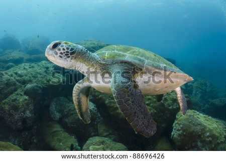 green turtle Chelonia mydas swimming in deep blue waters.  Coast of Brazil