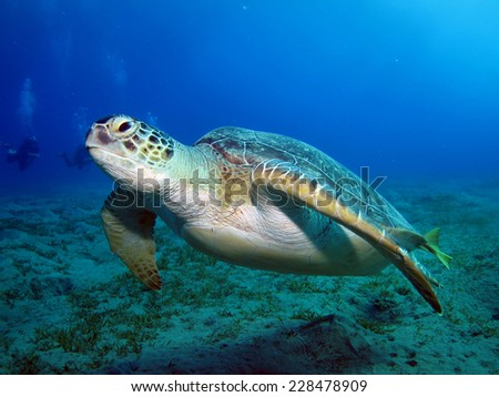 Green turtle (Chelonia mydas) swims over seagrass at Abu Dabbab, Marsa Alam