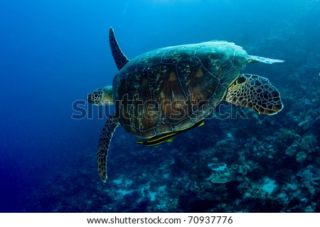 Green turtle (Chelonia mydas) with a yellow remora (Echeneidae) swimming over a coral reef. Taken in the Wakatobi, Indonesia.
