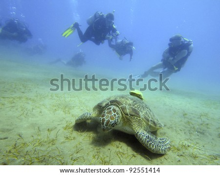 green turtle (Chelonia mydas) with divers
