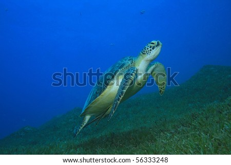 Green Turtle (Chelonia mydas) with Remora fish swims over seagrass in Dahab, Egypt