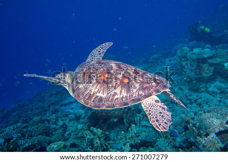 Green turtle coming to you underwater while diving - stock photo