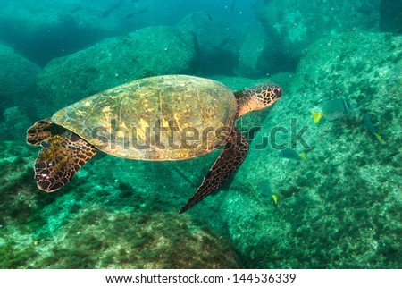 green turtle from the sea of cortez, mexico. - stock photo