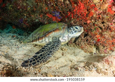 Green Turtle in an underwater cave - stock photo