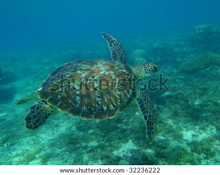 Green turtle in the pacific ocean