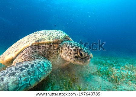 Green turtle in the Red Sea - stock photo
