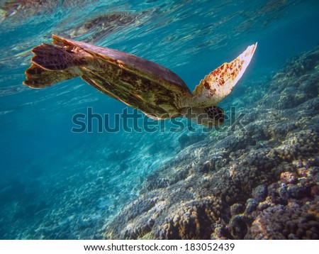 Green turtle is diving in shallow waters near corals