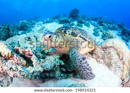 Green Turtle on a dark coral reef - stock photo