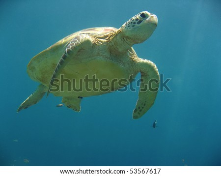 green turtle on coral reef sipadan island sabah borneo - stock photo