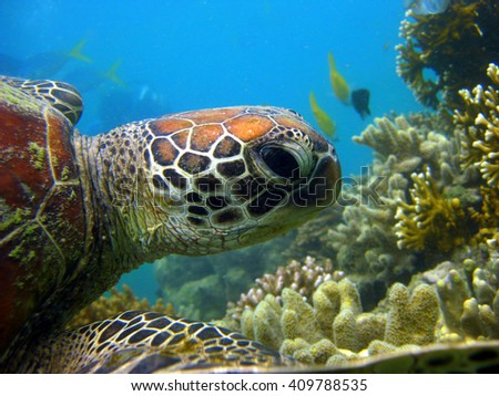 Green Turtle on the Blue Pearl Bay off Hayman Island, Whitsunday Islands, Coral Sea, Queensland, Australia - stock photo