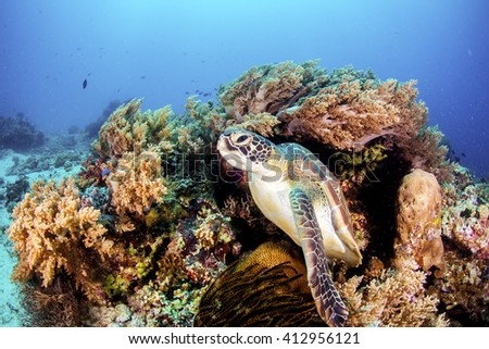 Green Turtle on the sea bed amongst the coral. - stock photo
