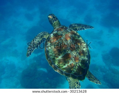 Green turtle - Pacific Ocean, Philippines