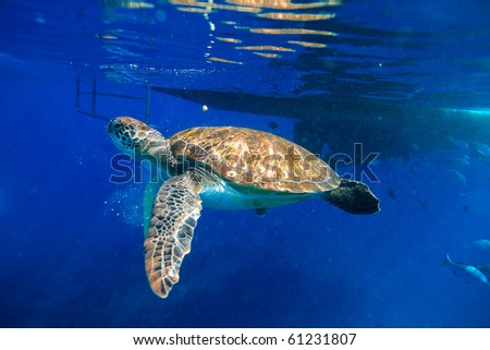 Green turtle swimming at the boat tail - stock photo