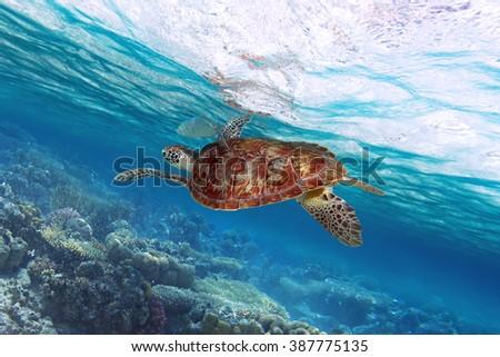 Green turtle swimming at tropical island of Caribbean Sea - stock photo