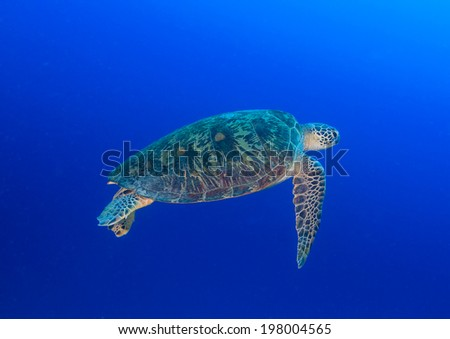 Green Turtle swimming in blue water