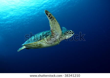Green Turtle swimming in the blue , crystal clear ocean. Sipadan , Malaysia.