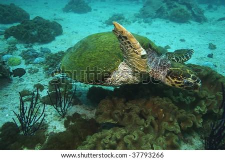 green turtle swimming on reef - stock photo