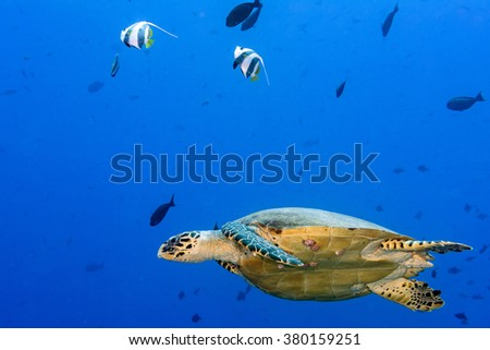 green turtle swimming on the blue ocean background - stock photo