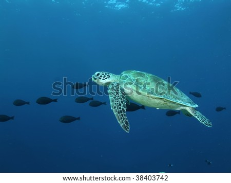 Green turtle swimming with a school of surgeon fish. Sipadan , Malaysia.