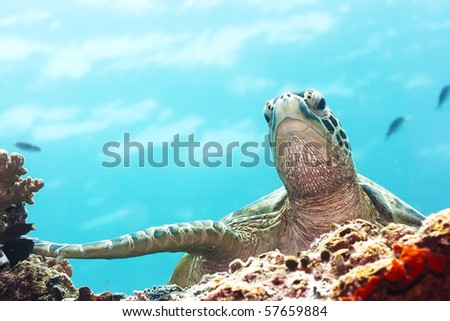 Green Turtle underwater close-up. Sipadan. Celebes sea - stock photo