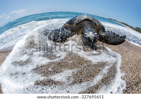 Green Turtle while relaxing on sandy beach in big island in Hawaii - stock photo