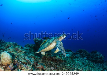Green Turtle with Remora swimming over  tropical coral reef - stock photo