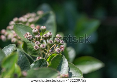 Green twig of irga with not ripe berries. - stock photo