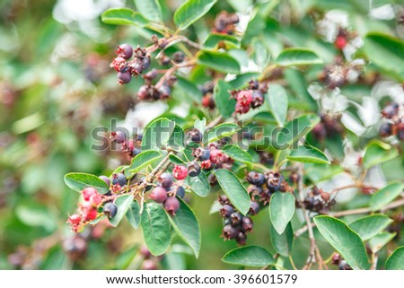 Green twig of irga with ripe berries - stock photo