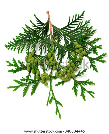 Green twig of thuja with cones isolated on white background - stock photo