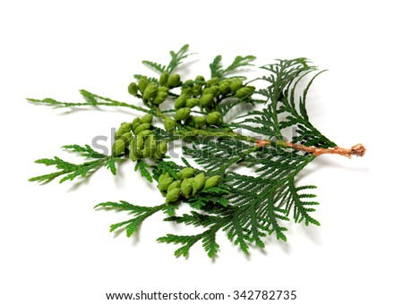 Green twig of thuja with cones isolated on white background. Selective focus. - stock photo