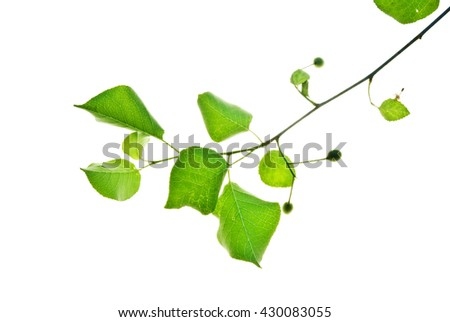 Green twig of wild cherry tree isolated on white  - stock photo