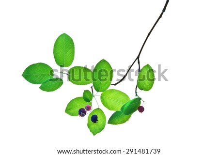 Green twig with blue berries isolated on white                   