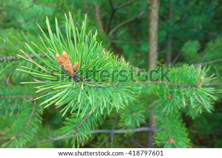 green twig with needles in coniferous forest - stock photo