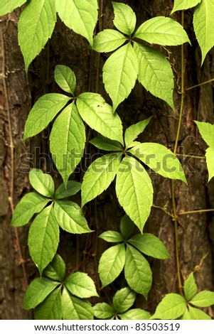 Green twine plant on wood - stock photo
