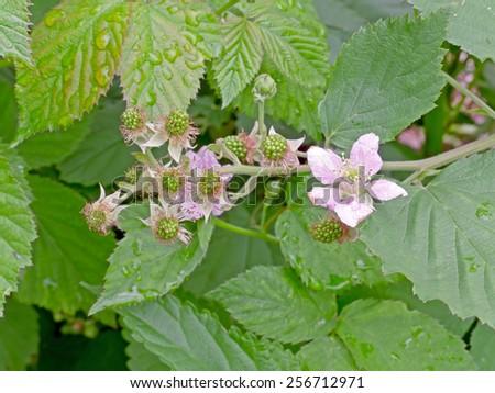 Green, unripe blackberries in the spring time. - stock photo