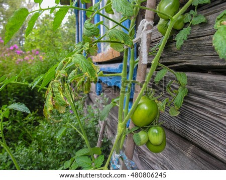 Green unripe tomatoes on the bush against the wall of the old village house