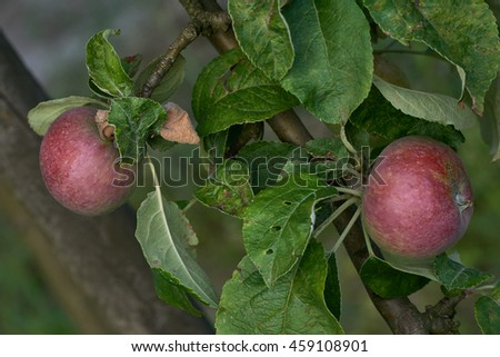 Green varieties of apples on branches in a garden healthy.