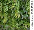 Green vine - stock photo