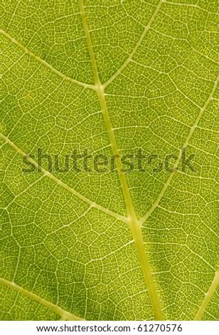 green vine leaf - stock photo