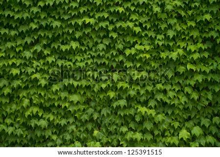 Green Vine Leaf Background - stock photo