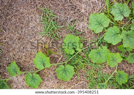 green vine leaf nature for background. - stock photo